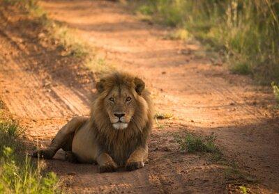 Poster Löwe auf der morgendlichen afrikanischen Straße