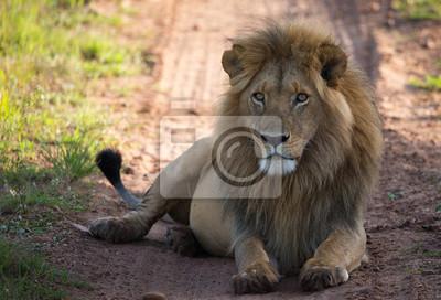 Löwe auf der savannah Straße im Morgenlicht