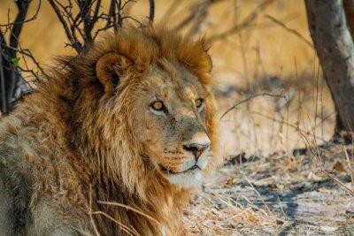 Poster Löwe in Afrika