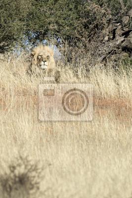Löwe in der Kalahari