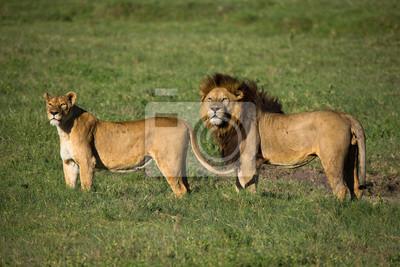 Löwe mit Löwin auf afrikanischen Savanne