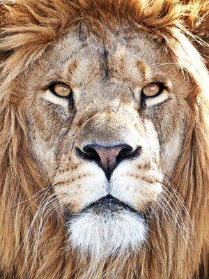 Poster Löwe (Panthera leo)