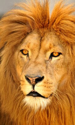 Poster Löwen allein