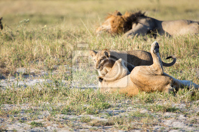 Löwenjungen