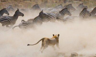 Löwin Angriff auf ein Zebra. Nationalpark. Kenia. Tansania. Masai Mara. Serengeti Eine ausgezeichnete Illustration.