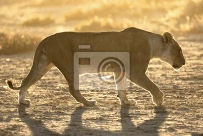 Löwin geht bei Sonnenaufgang