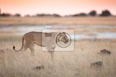 Löwin in bushveld