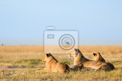 Löwin in Veld