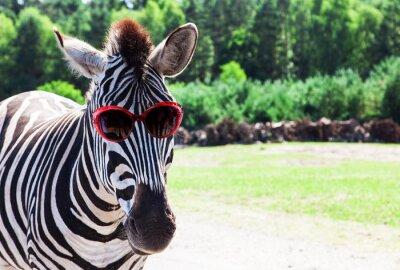 Poster Lustiger Zebra mit Sonnenbrille