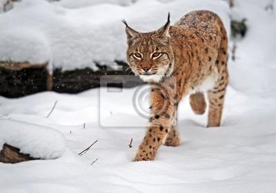 Lynx im Winter