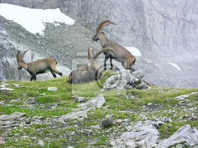 Klettersteig Tälli : Mächtige alte alpensteinböcke capra ibex am tälli klettersteig
