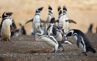 Magellan-Pinguin weinen laut mit den Flügeln sich