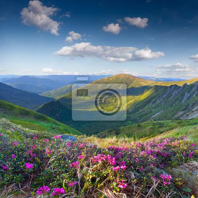 Magie Rosa Rhododendron Blumen auf Sommer Berg