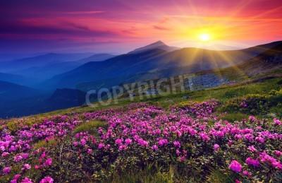Poster Magische Rosa Rhododendron Blumen auf Sommer Berg