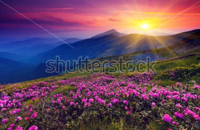 Poster Magische rosa Rhododendronblumen auf Sommerberg