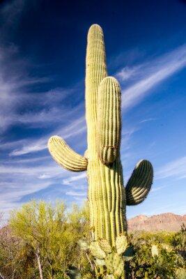 Poster Majestätischer Saguaro Kaktus