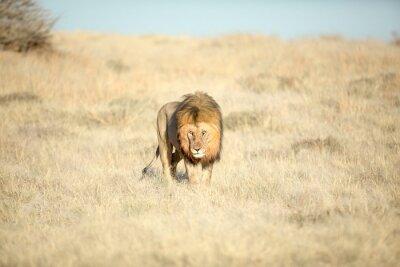 Male lion in morning light