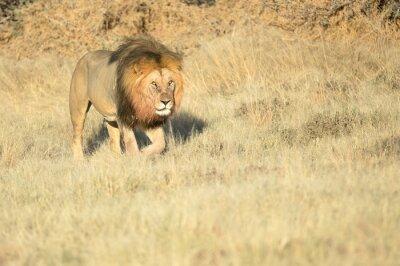 Male lion on patrol