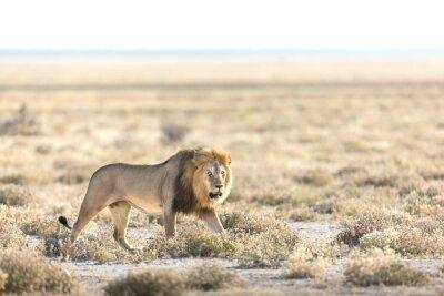 Male lion walking in morning light in Etosha National Park, Namibia.