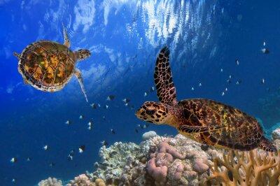 Poster Malediven-Schildkröte schwimmend