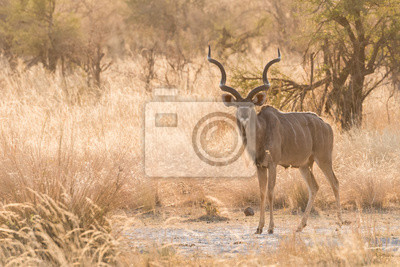 Männlich Kudu Ganzkörper stehen