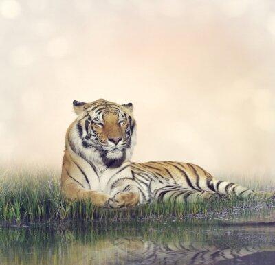 Poster Männlich Tiger Ruhen