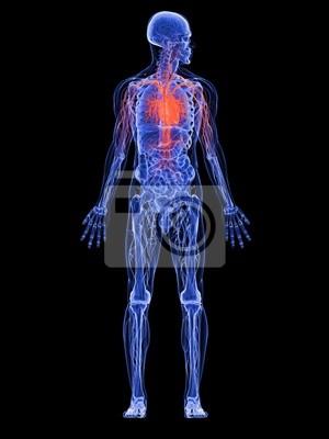 Männliche anatomie mit herz kreislauf-system wandposter • poster ...