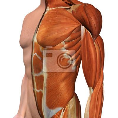Männliche brust muskel-modell mit cut-away haut-schicht wandposter ...