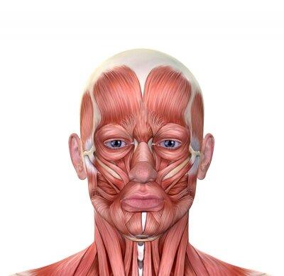 Männliche gesicht muskeln anatomie wandposter • poster medicals ...