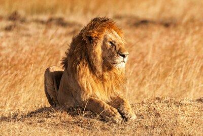 Poster Männliche Löwen in Masai Mara