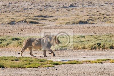 Männliche Löwen zu Fuß