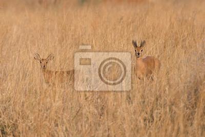 Männliche und weibliche Steenbock im Gras