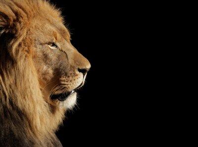 Poster Männlicher afrikanischer Löwe auf schwarzem