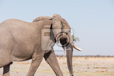 Männlicher Elefant Botswana