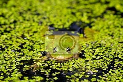 Marsh Frosch im Teich