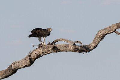 Martial Eagle töten Guinea Geflügel