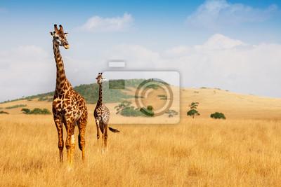 Poster Masai-Giraffen gehen im trockenen Gras der Savanne