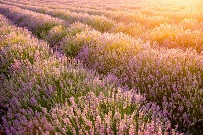 Poster Meadow von Lavendel. Natur-Zusammensetzung. Selektiver Fokus
