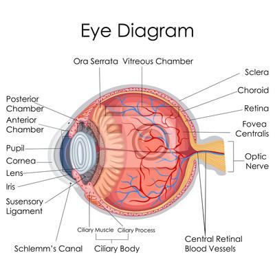 Medizinische ausbildung diagramm der biologie für das menschliche ...