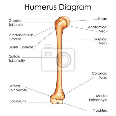 Medizinische ausbildung diagramm der biologie für humerus diagramm ...