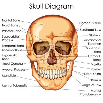 Medizinische ausbildung diagramm der biologie für menschliche ...