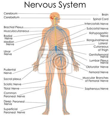 Medizinische ausbildung diagramm der biologie für nervensystem ...