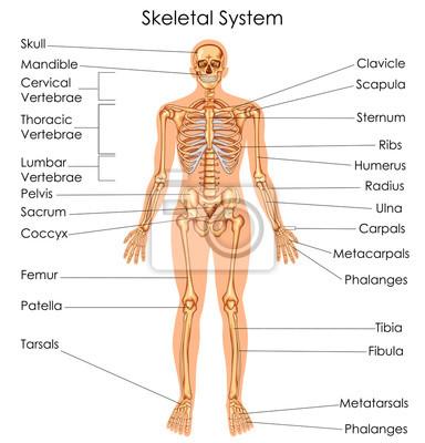 Medizinische ausbildung diagramm der biologie für skelettsystem ...