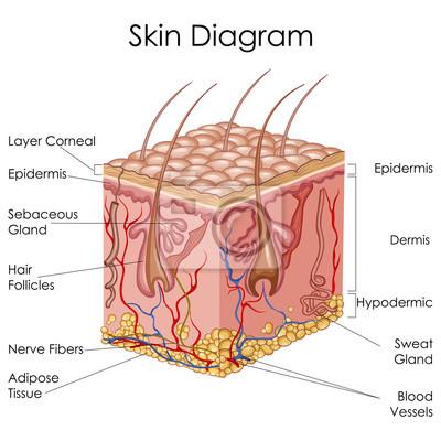 Medizinische ausbildung diagramm der biologie für skin diagramm ...