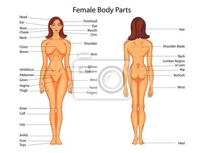 Medizinische ausbildung diagramm der biologie für weibliche ...