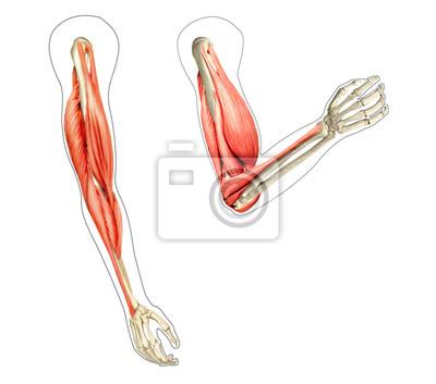 Poster: Menschliche anatomie arme diagramm, zeigt knochen und muskeln