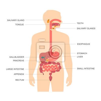 Menschliche anatomie verdauungssystem, magen-vektor-illustration ...