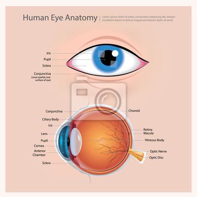 Menschliche auge anatomie vektor-illustration wandposter • poster ...
