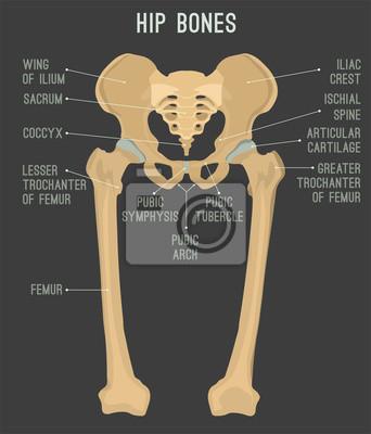 Menschliche hüftknochen wandposter • poster Grafik-Design, isoliert ...