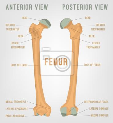 Menschliche oberschenkelknochen wandposter • poster früher, Femur ...